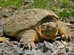 220px-Common_Snapping_Turtle_Close_Up