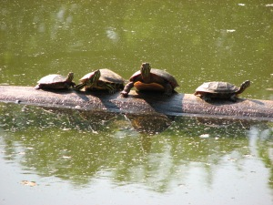 Turtles basking on a log in the quarry pond