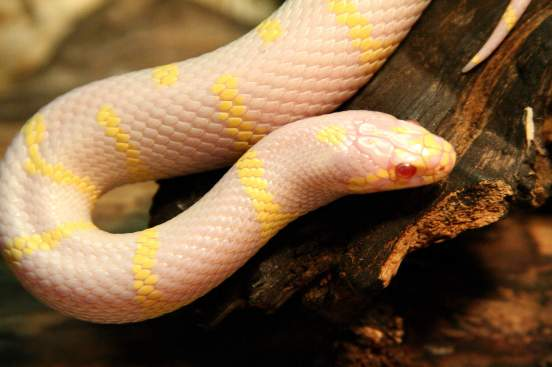 fountain rock coconut albino king snake